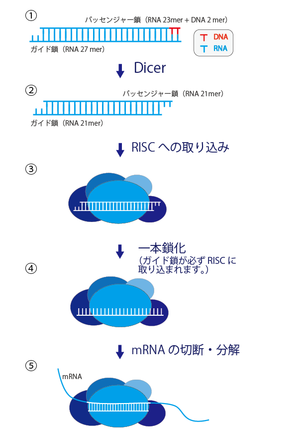 27mer DsiRNAs| Integrated DNA Technologies 株式会社